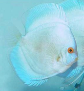A fine and healthy discus fish specimen